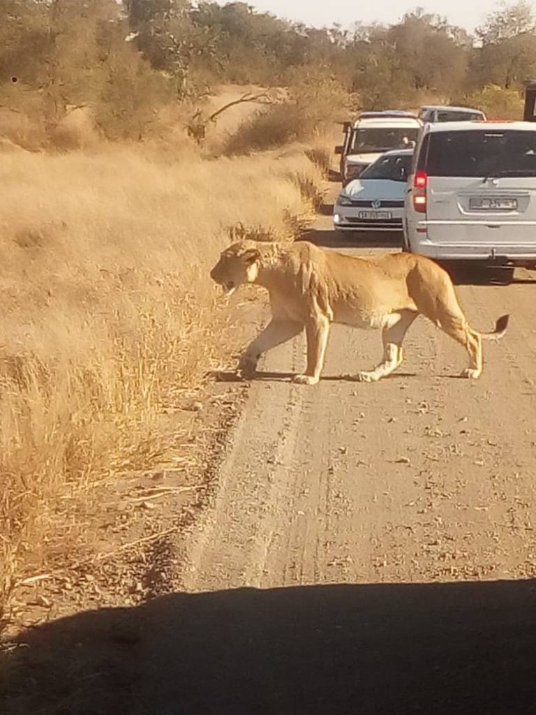 Another great lion sighting
