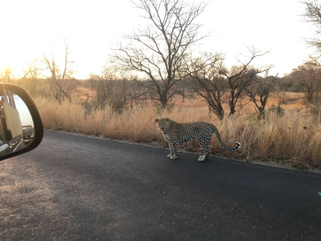 Leopard alongside our vehicle