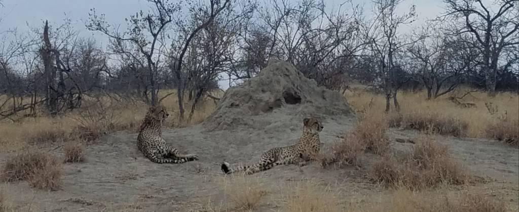 Cheetah near Tremisana