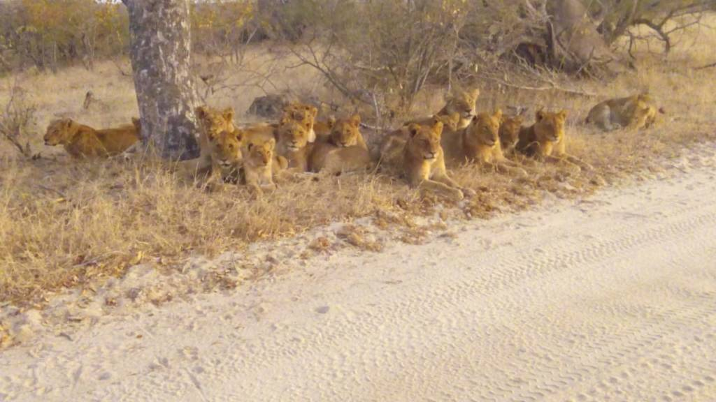 Pride of lions near Tremisana
