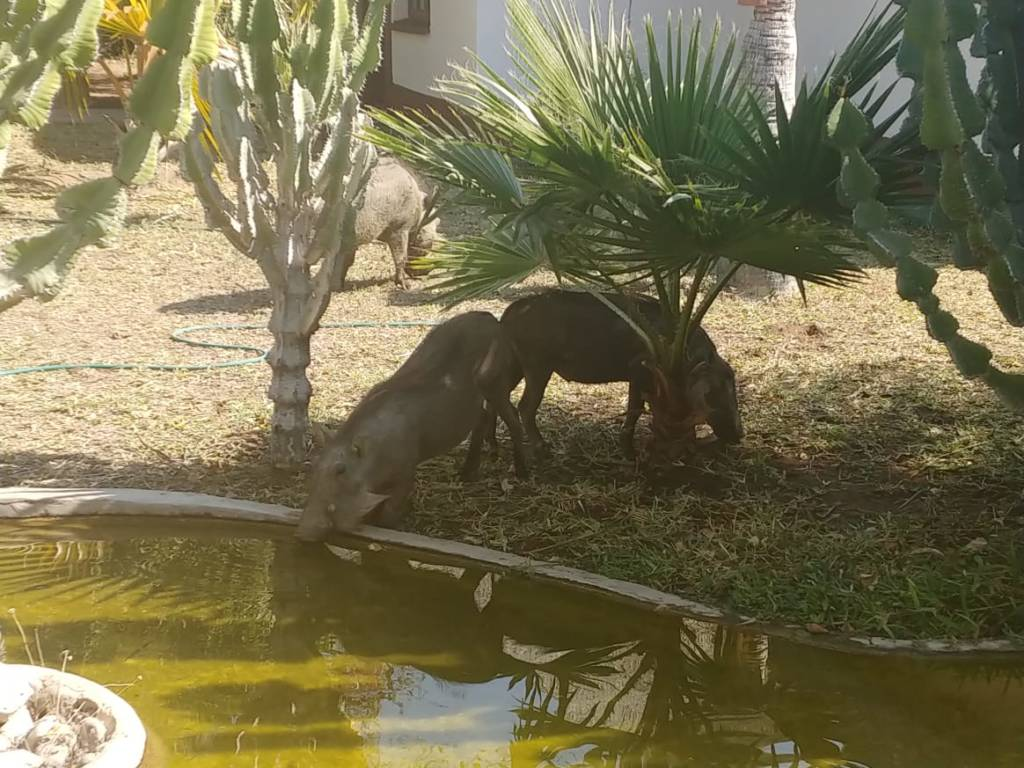 Warthogs at Tremisana water feature