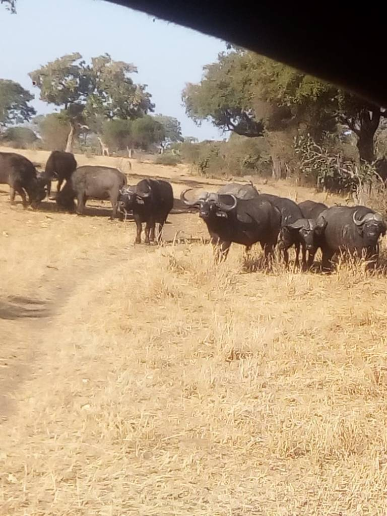 Buffalo seen on Oxford property