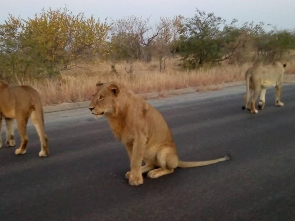 Lions near Satara