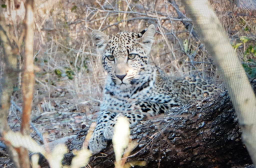 Young leopardess at Marcs