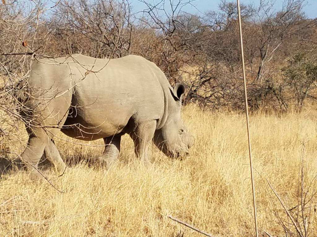 White Rhino bull near Dean's dam