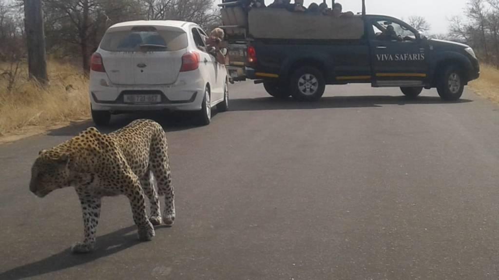 Leopard on the road near Viva vehicle