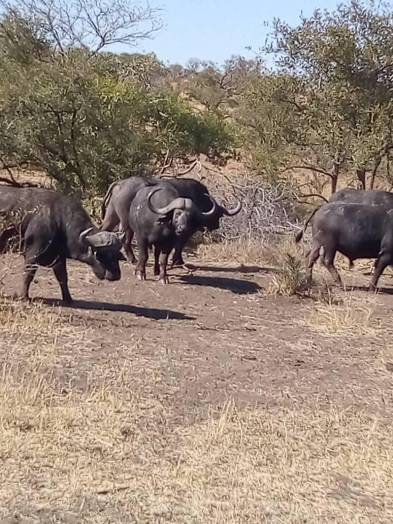 Buffalo herd not far from lions