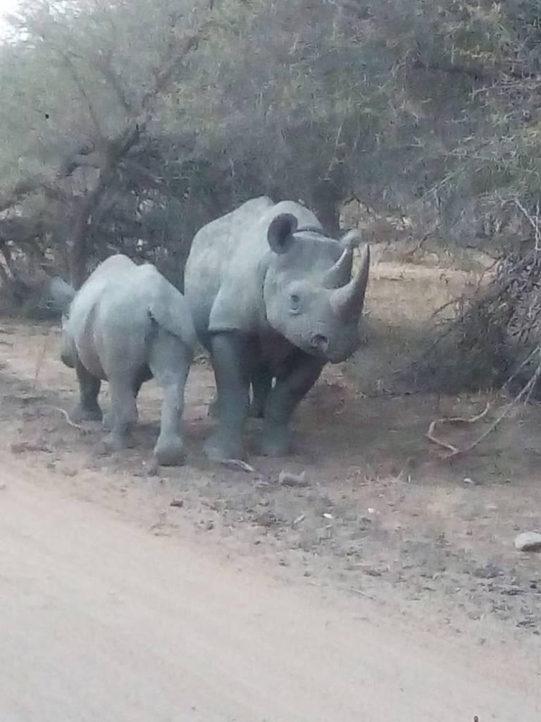 Black Rhino cow and teenage calf
