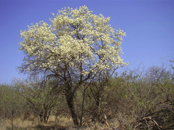 Flowering Wild Pear tree near Masango Camp