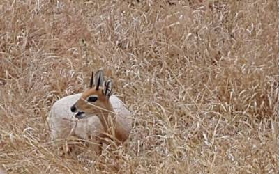 Different steenbok - any guesses?