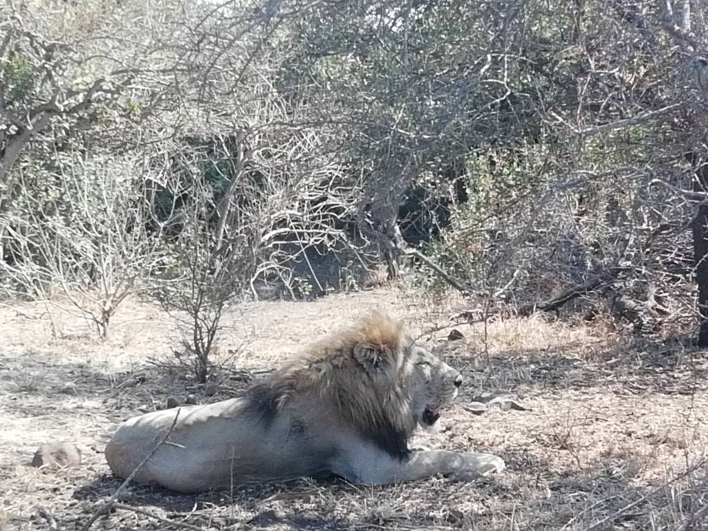 Beautiful male lion lying on Ngotso loop about 30km away from Satara camp... I was with Victor - it was a very lovely day