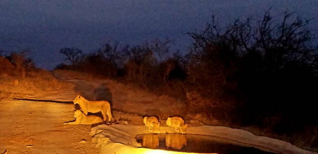 Lions drinking at waterhole before commencing hunt