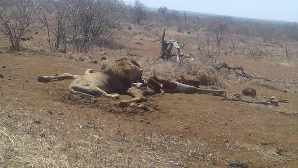 Lion on Giraffe kill north of Satara