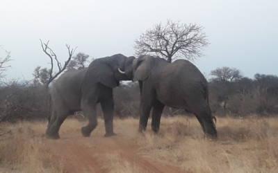 Elephants sparring near Campfire Dam