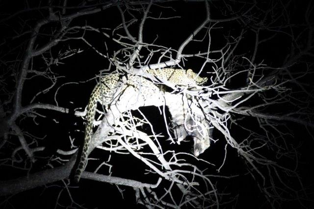 Leopard with Civet up a tree at Marula Boma