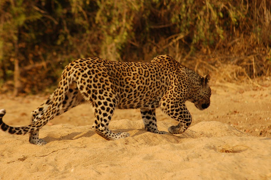 Brilliant shot of leopard on Motlala Reserve