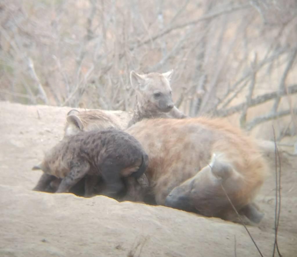Hyena mom and pups