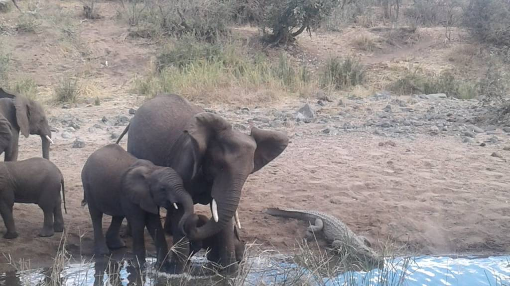 Crocodile forced to share his pond with thirsty elephants