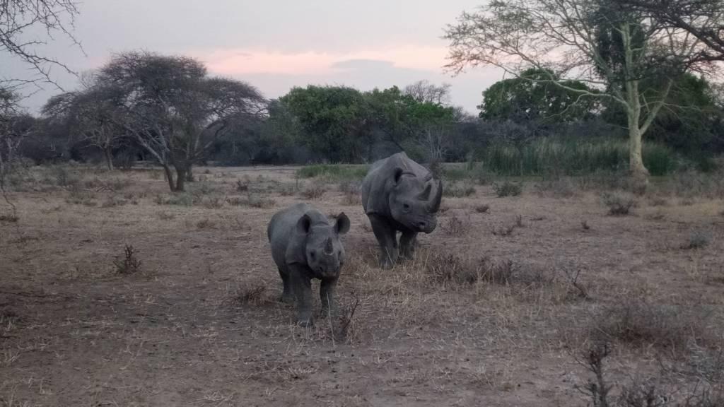 Mother Black Rhino and calf on Motlala