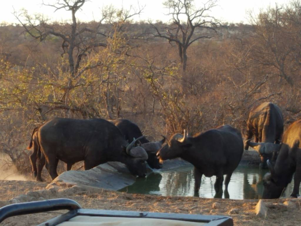 Buffalo drinking on Oxford