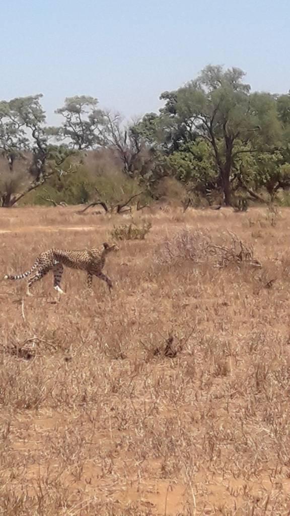 Cheetah approaching Steenbok