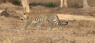 Male leopard near vehicle