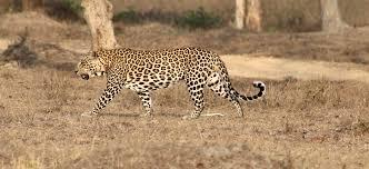 Male leopard near vehicle