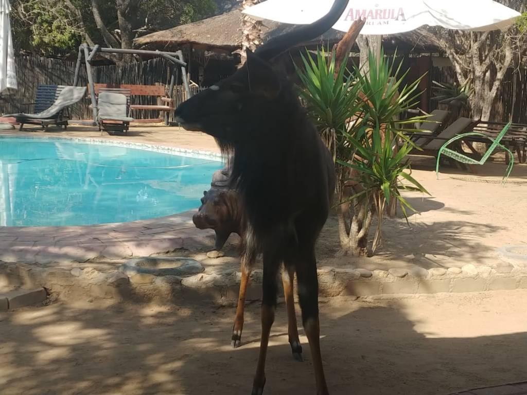 Nyala bull at Marcs pool