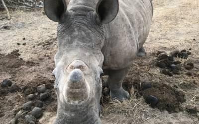 Young white rhino cow near Masango