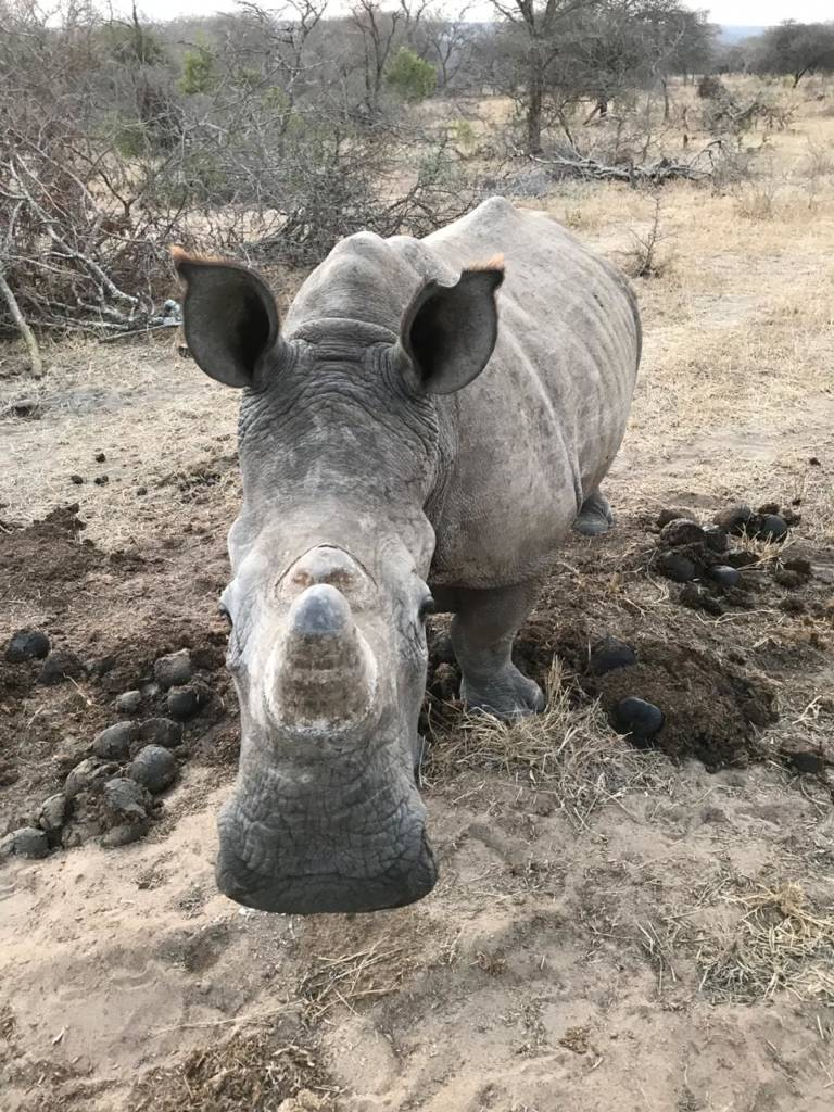 Young white rhino cow near Masango