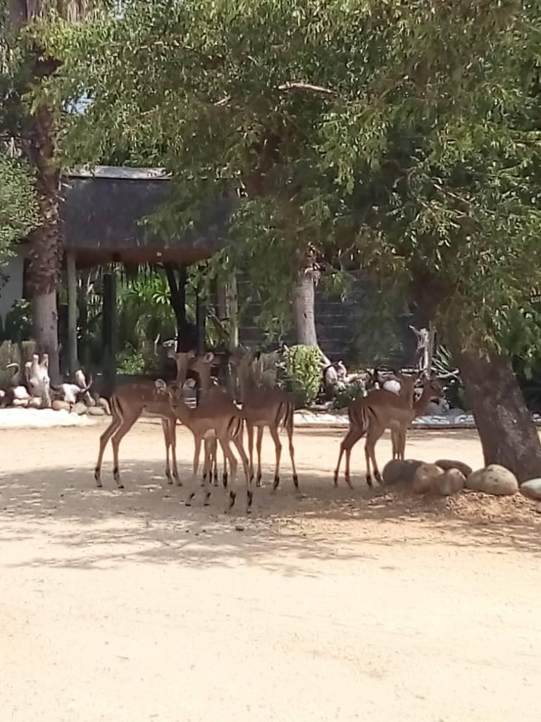 Impala under Marula Tree at front entrance of Tremisana