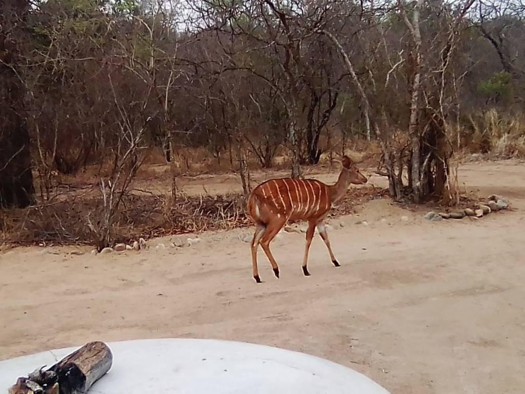 Nyala ewe at Katekani Boma