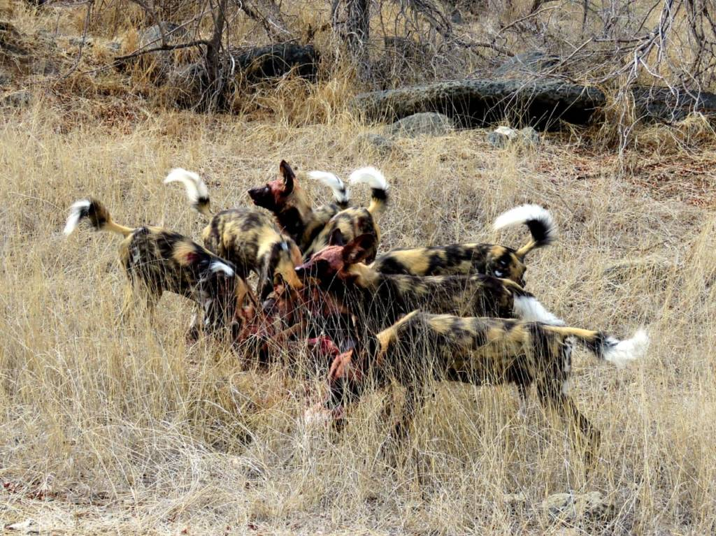 Bloody-faced wild dogs feast on impala