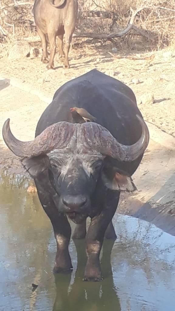 Buffalo bull near Tremisana