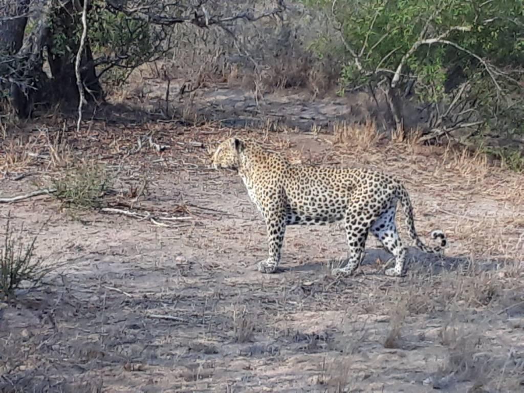 Leopard seen near Orpen
