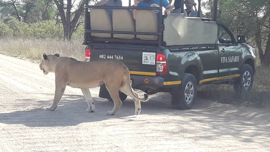 Lioness passes behind Fortune's vehicle