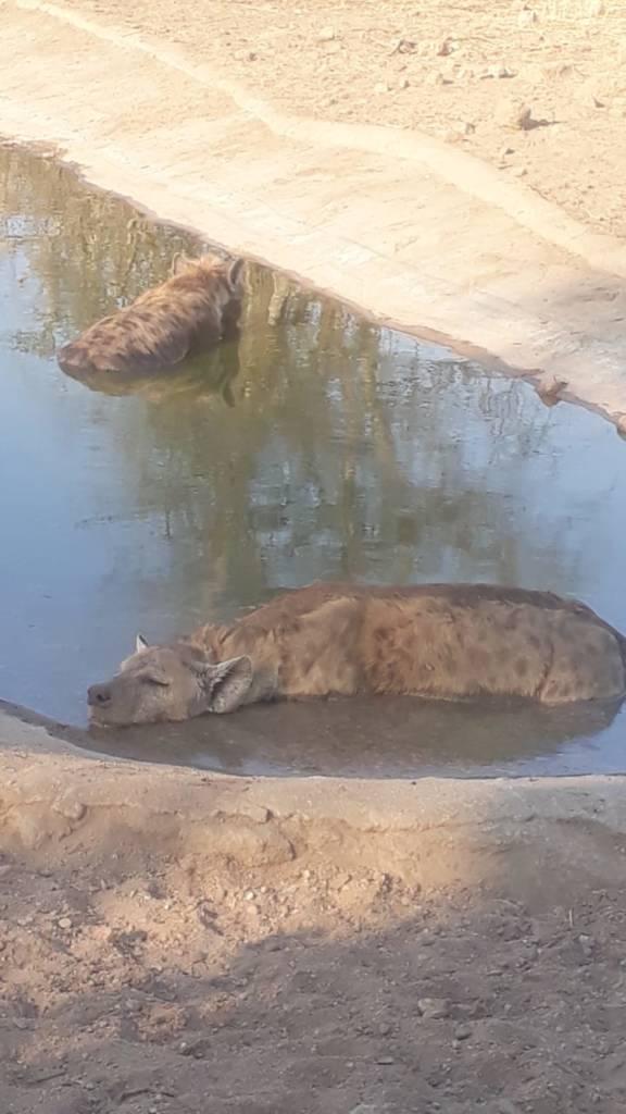 Hyenas feeling the heat enjoy a dip in Oxford waterhole