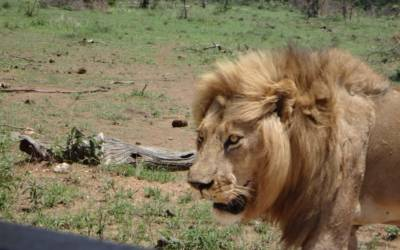 Lion 50cm from vehicle