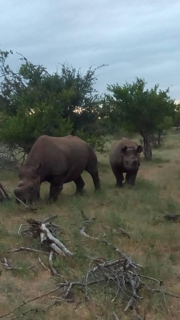 Black Rhino near vehicle