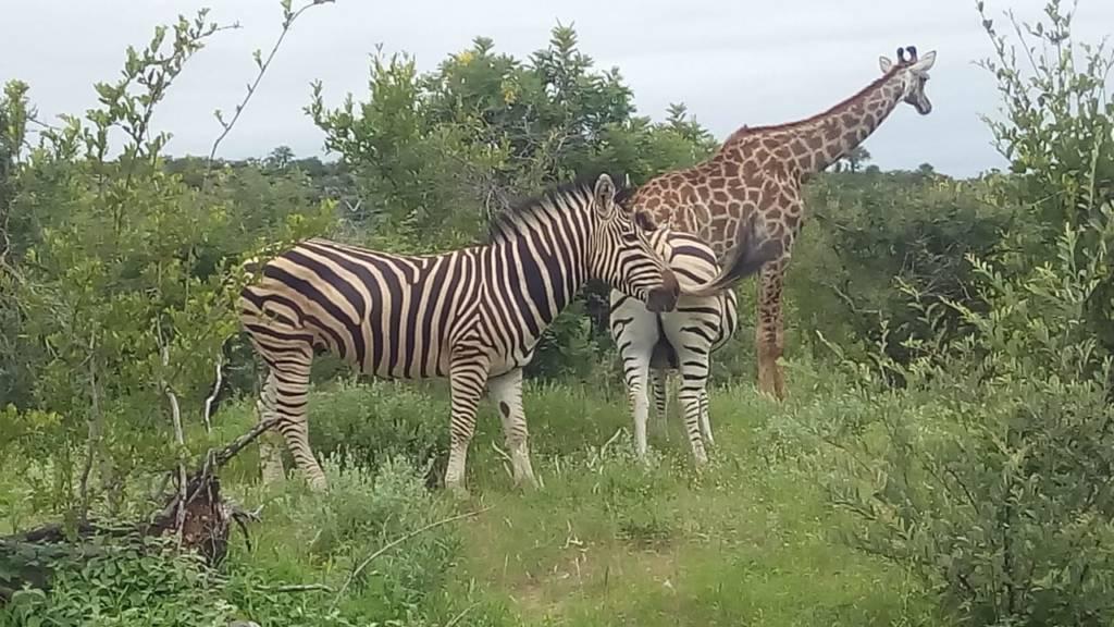 Giraffe and Zebra composition