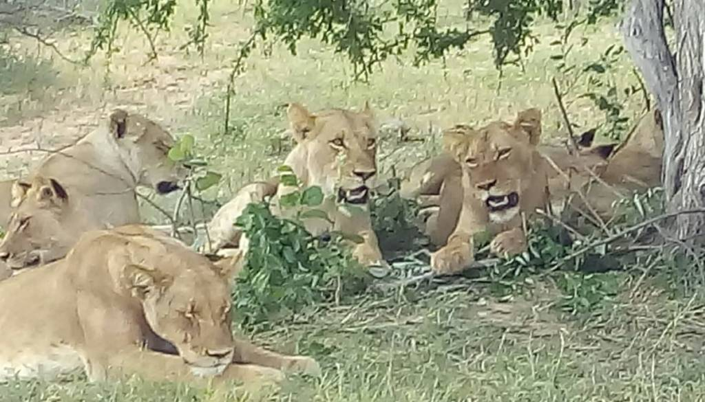 Lionesses resting in the shade