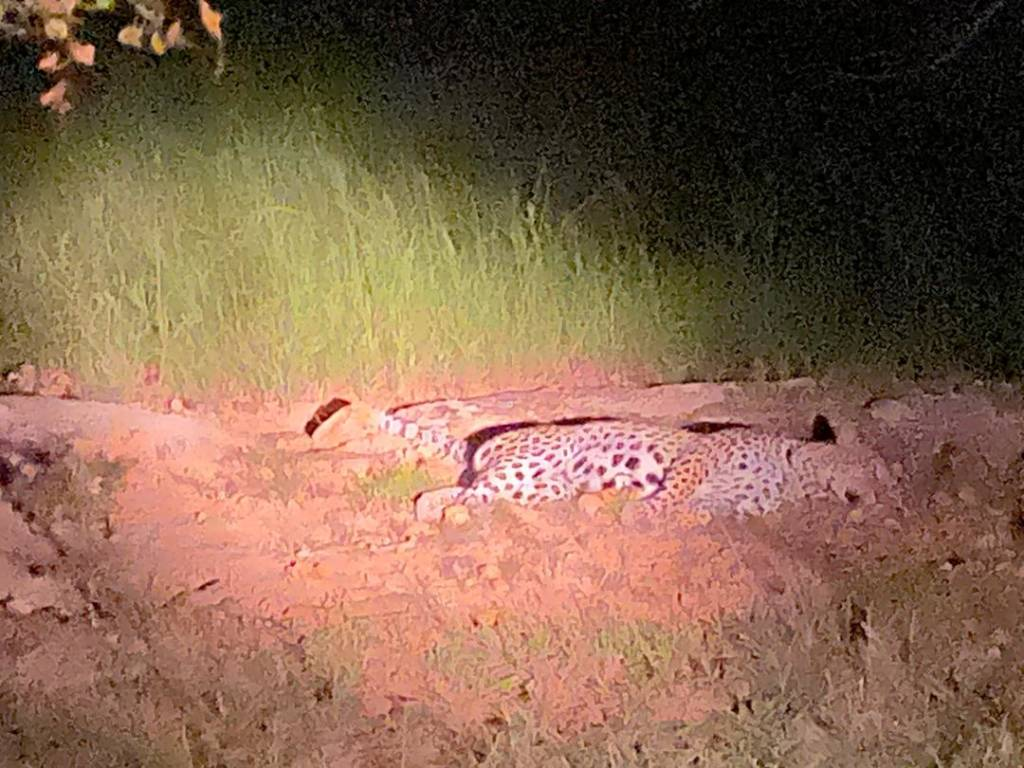 Leopard totally relaxed with our vehicle and guests
