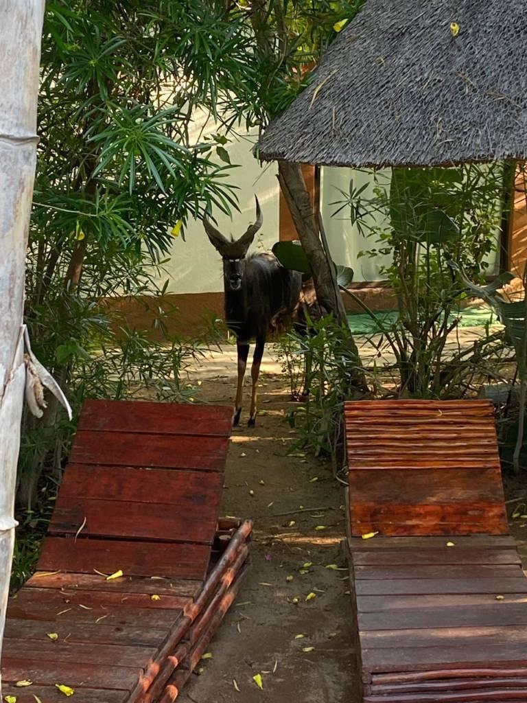 Nyala bullock near pool at Tremisana