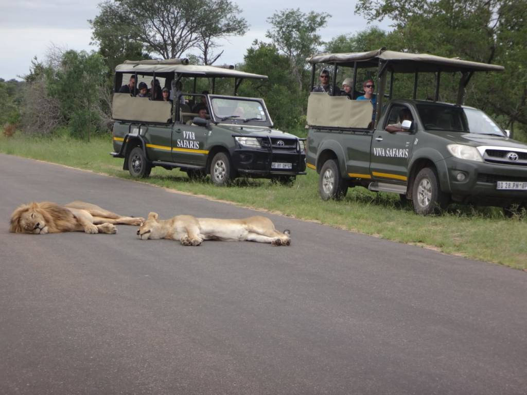 Viva vehicles close to lions near Satara in Kruger