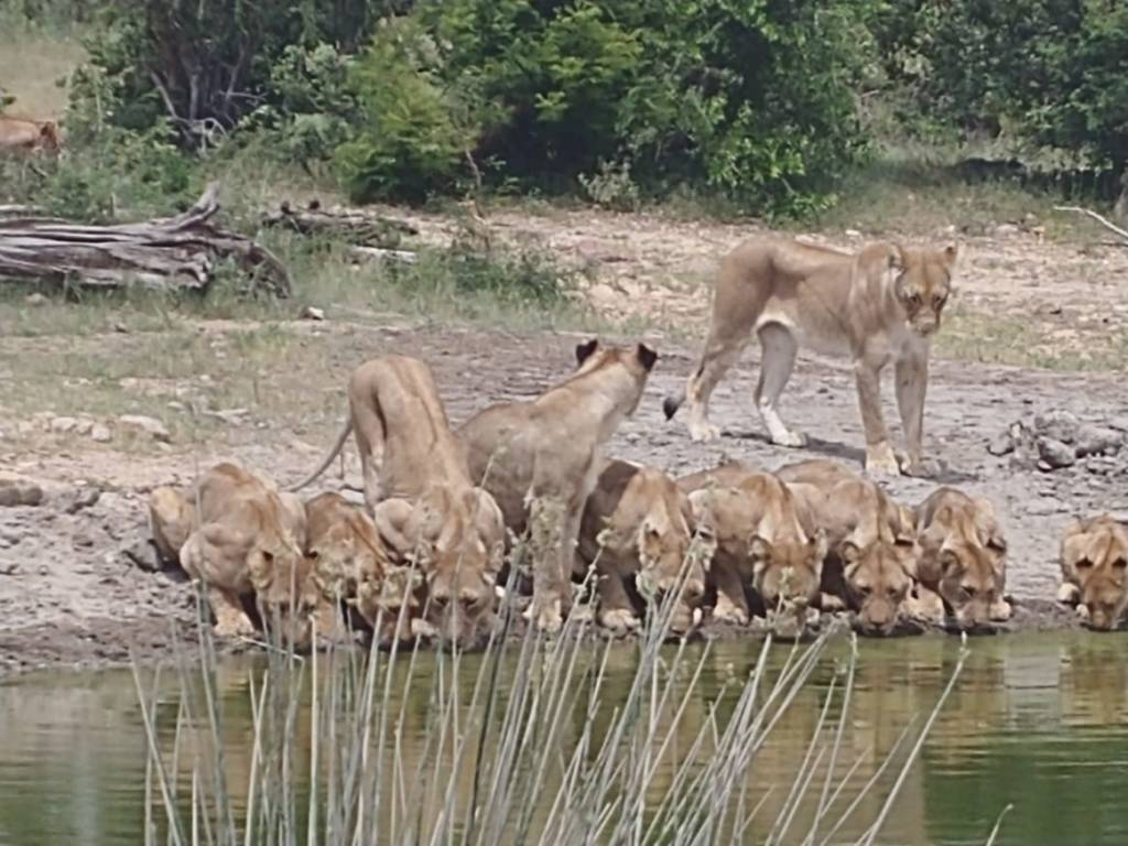 Lions at Rosies