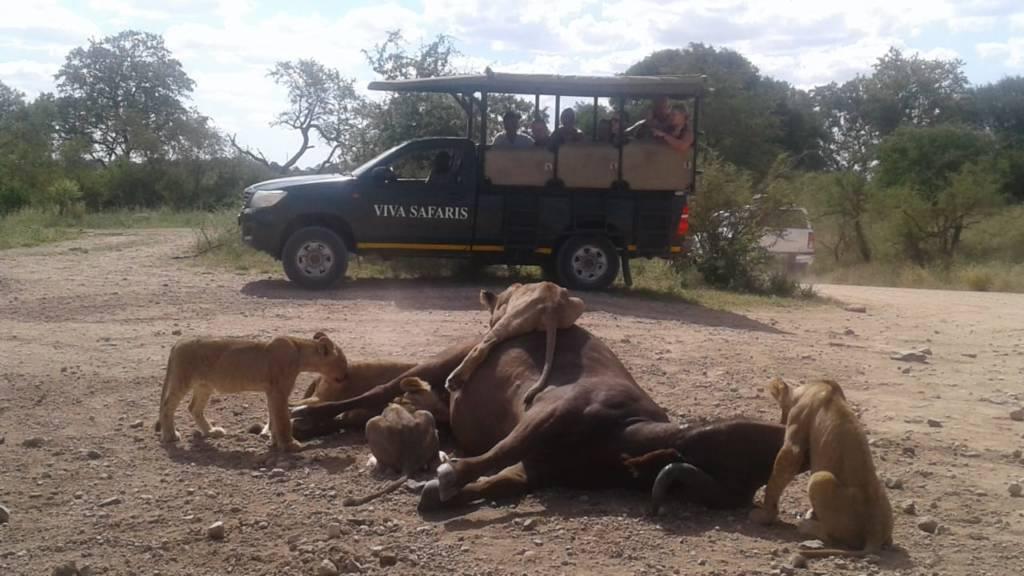 Lions and cubs on buffalo kill near Satara