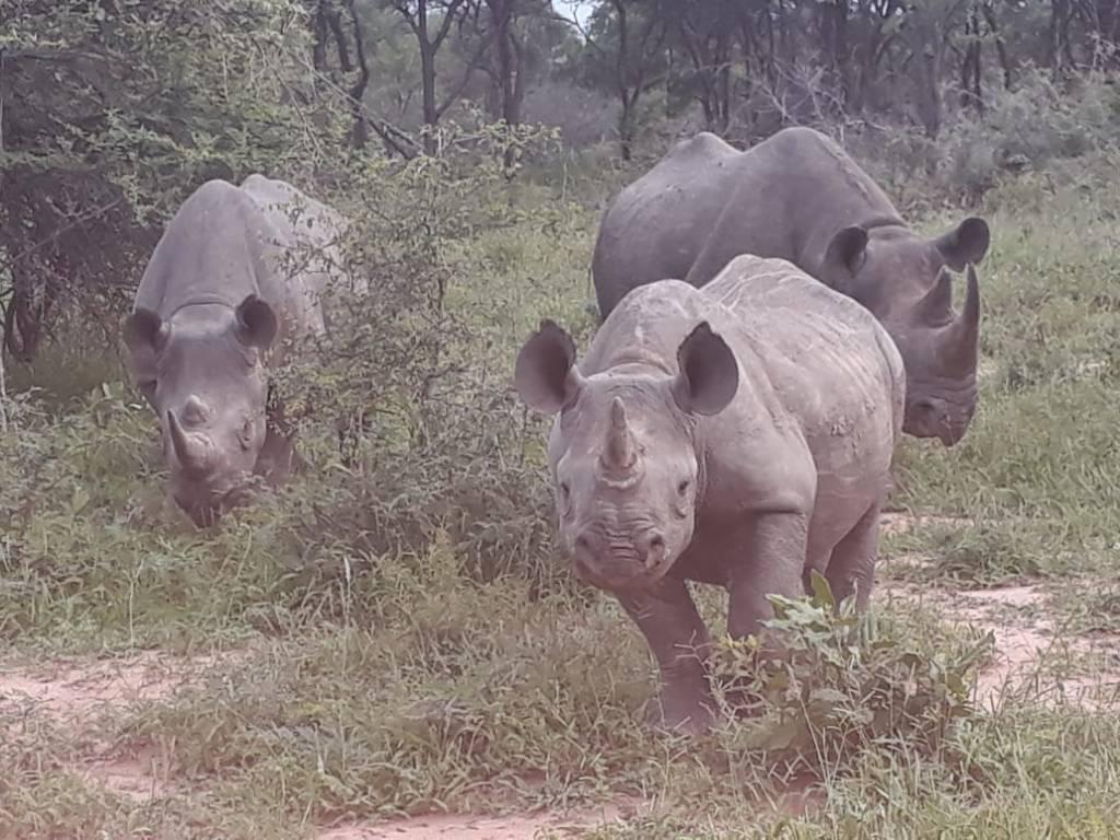 Black Rhino family at Motlala