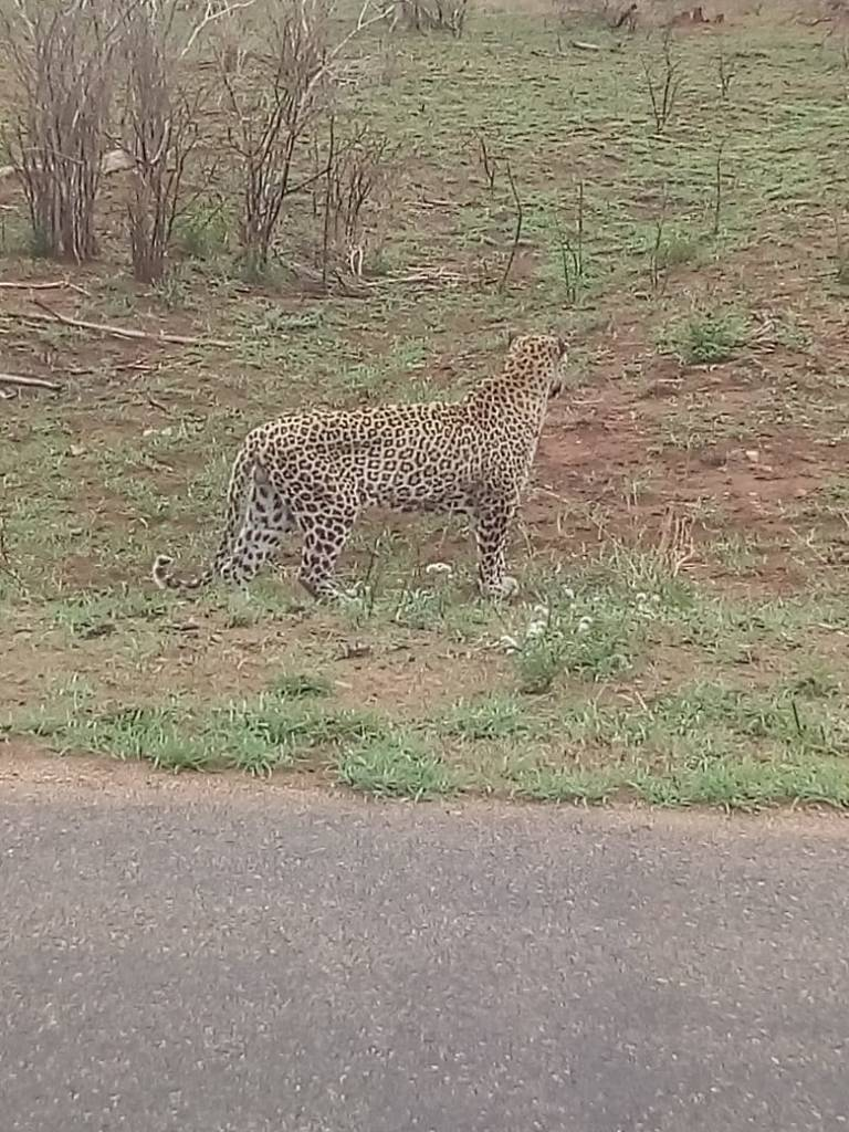 Leopard close to road