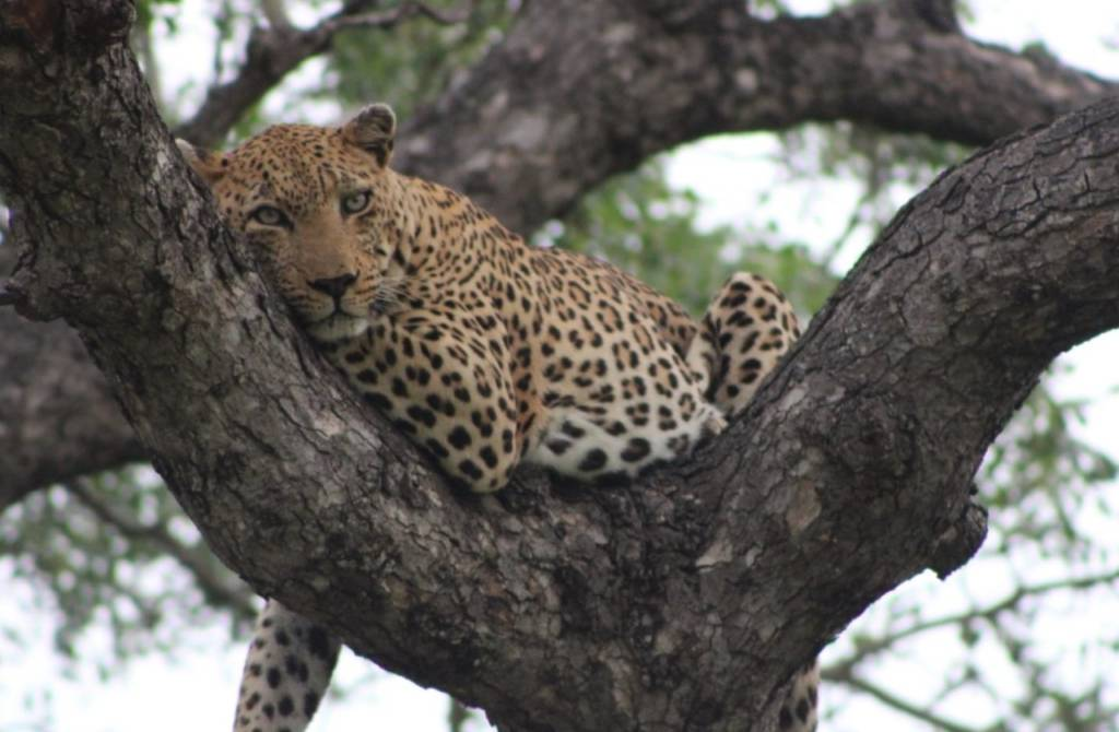 Good sighting of leopard