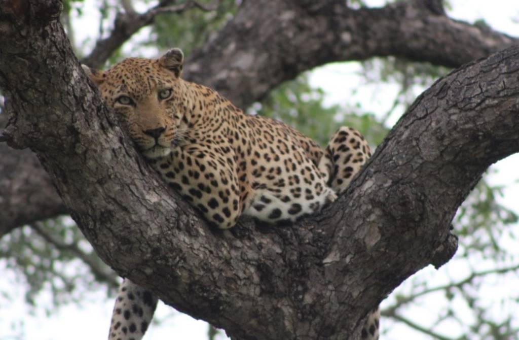 Good sighting of leopard